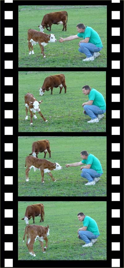 MooScience: curious calf needs immunoglobulins from its mom.